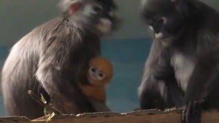 Рыжая маленькая обезьянка 17.03.16 (очковый лангур)
