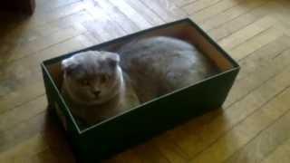 Кот в коробке, Самый смешной Кот в Мире, Британский Кот, Прикол с Котом.(Самый смешной кот, котик в мире. Мой смешной Британский Кот
