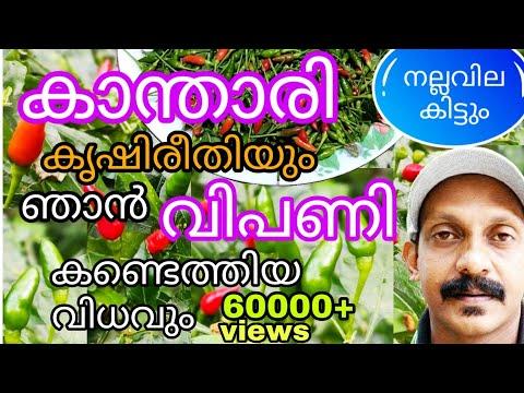 കാന്താരി മുളക് കൃഷി ചെയ്യാം| Kanthari Mulaku Krishi|Birds Eye Chilli Plant Cultivation|Mulaku Krishi