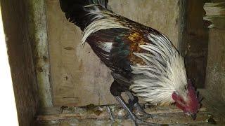 Philippine wild fowl