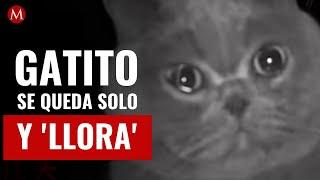 Gatito se queda solo en casa y 'llora' al escuchar la voz de su dueña desde la cámara