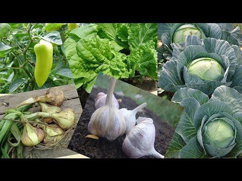 Севооборот овощных культур | четырехпольный | чередование | севооборот | двупольный | плодосмен | культуры | овощных | овощные | культур | огород