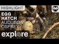 Osprey Egg Hatch - Audubon Osprey - Live Cam Highlight