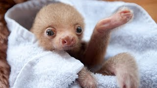 Most Funny and Cute Baby Sloth Videos Compilation