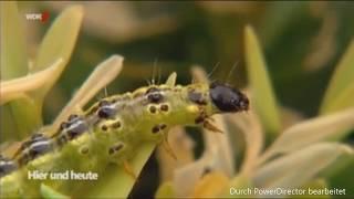 WDR: Die Buchsbaumretter verwenden Algenkalk gegen den Zünsler