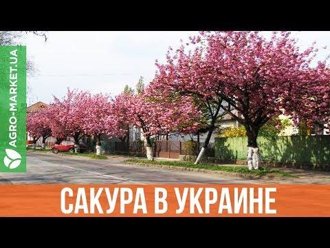 Можно ли вырастить сакуру в Украине?  | Agro-Market.ua