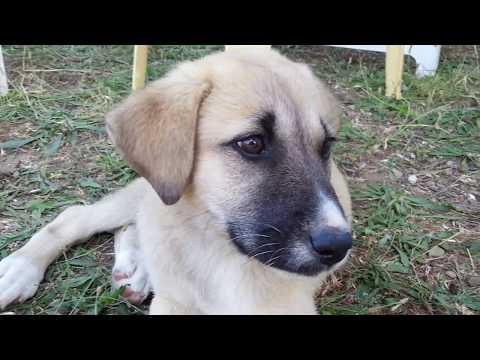 Köpeklerimiz Ateş ve Duman' ı sevdik 😍😍 || Lps Karamel Tv