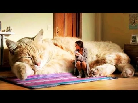 World's Biggest CAT-Big cats- liger ,LARGE CAT BREEDS-l-LIGER-SIBERIAN CAT,BENGAL CAT