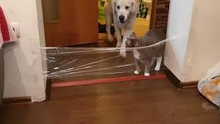 китайский челлендж с пленкой , но этот кот умнее всех животных