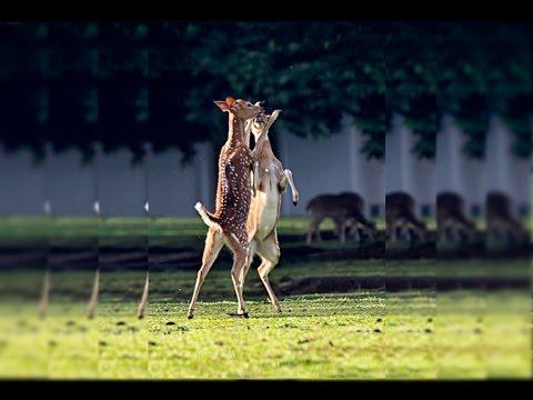 Rusa rusa Istana Bogor (Deers of Bogor Palace)