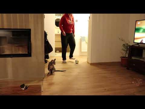oriental cat play football
