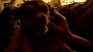 Dog Seizure Or Vestibular Disease?