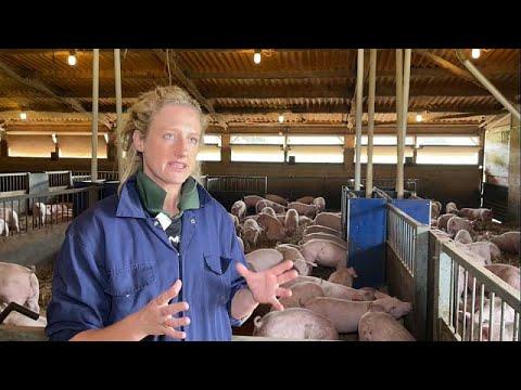 Великобритания: сектор свиноводства в кризисе