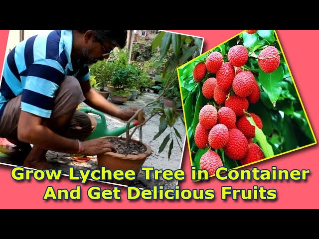 plant your own tree and Enjoy delicious Lychee fruit! Beautiful Live Lychee Plant