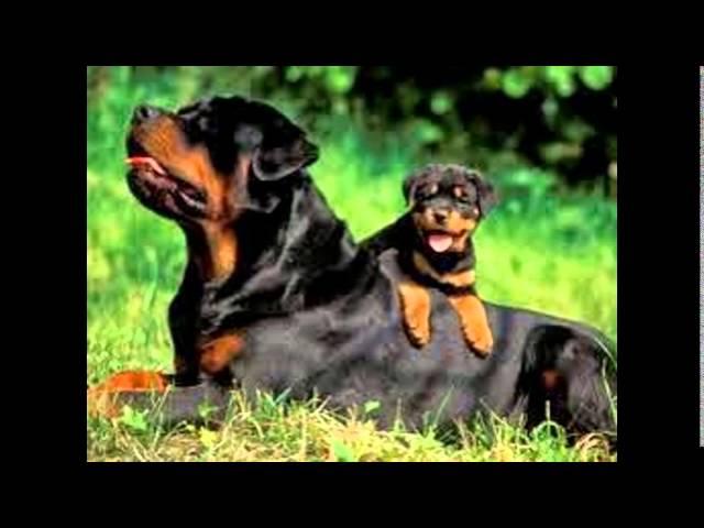 top 10 perros mas peligrosos  del mundo