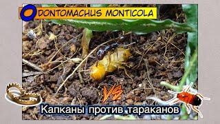 Капканы против Тараканов ● Odontomachus monticola