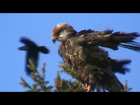 Crow does a Fly By on Bald Eagle