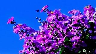 花卉之美-大花紫薇 Lagerstroemia speciosa