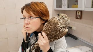 A flyer with a concussion. A goshawk being examined by a vet.