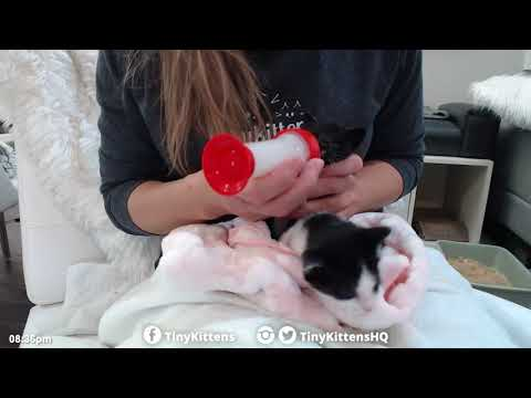 Tiny orphan kittens get their first bottle feedings - TinyKittens.com