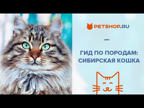 Вопрос: Почему сибирская кошка часто злится?