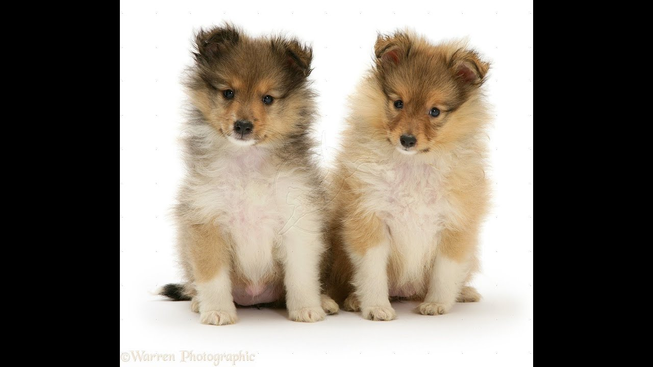 Shetland Sheepdog, Puppies, Dogs, For Sale, In Denver ...