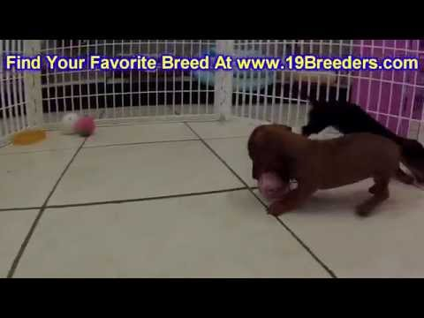 Miniature Dachshund Puppies Dogs For Sale In Montgomery Alabama Al 19breeders Hoover Aub
