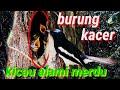 Burung Kacer Gacor Sama Anakan Ampuh Buat Pancingan Pikat Tao Terapi  Mp3 - Mp4 Download