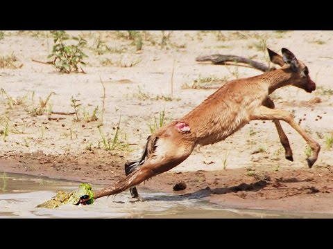 Baby Crocodile Vs Baby Impala