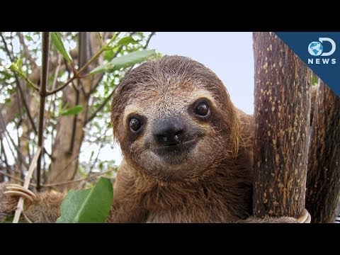Sloths Are A Walking Ecosystem!