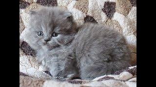 Британский длинношерстный котенок. Мальчик. Продажа.