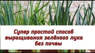 Супер простой способ выращивания лука без почвы.
