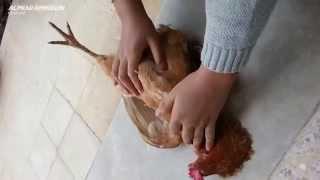 Reaksi Hewan Ayam & Kambing Saat Mendengar Nama Allah, AMAZING