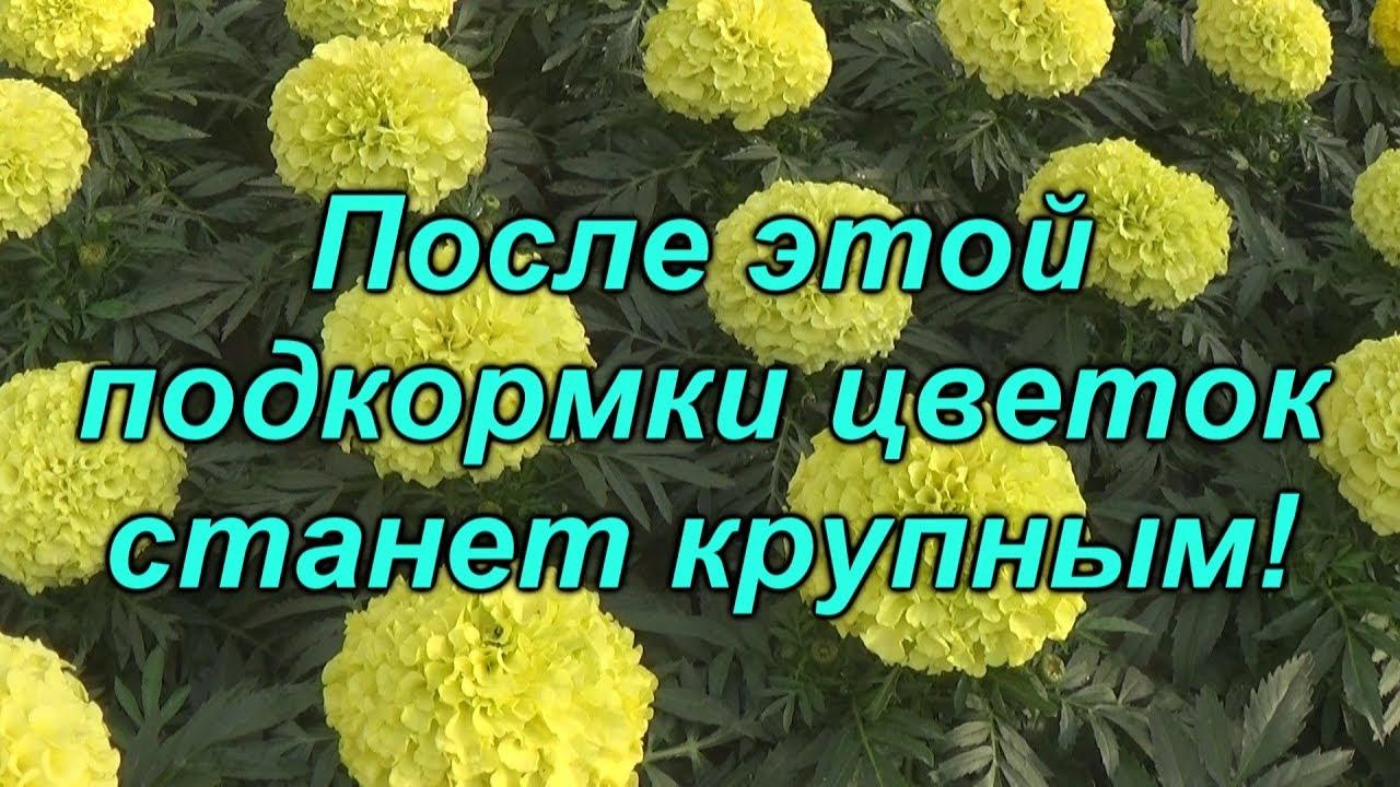 Как увеличить цветок на тагетисах (бархатцах)?