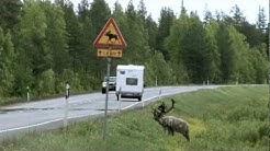 Hirvieläimet liikenteessä