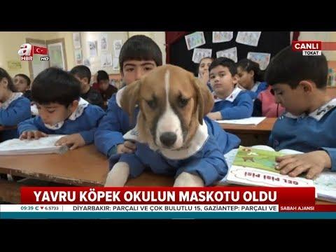 'Fındık' Köpek Önlük Giyip Derslere Katılıyor! / A Haber