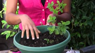 How to Grow Mint Next to Cilantro : The Chef's Garden
