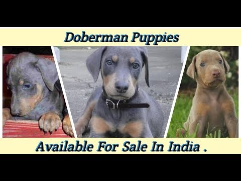 doberman-puppies-available-for-sale.