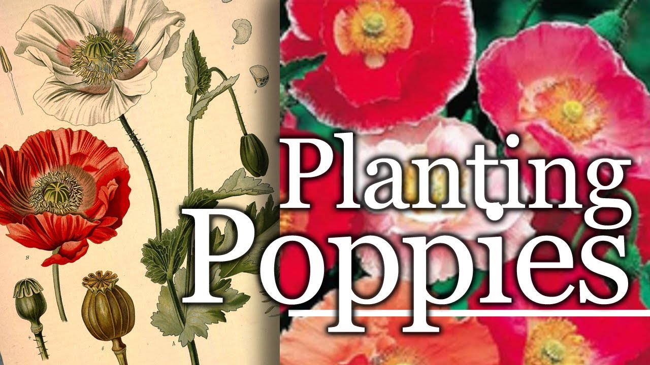 Growing Poppies Flowers For Your Garden Youtube
