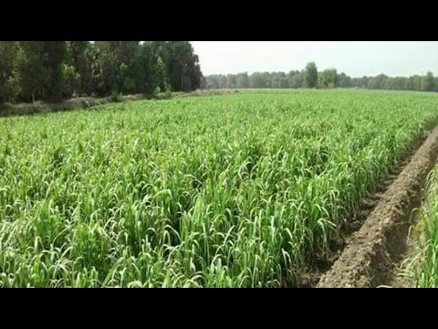 Best Indian Farming By Spraying Pesticide in fields with machine and hands