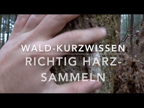 Richtig Harz-Sammeln (Wald-Kurzwissen)