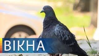 Голуби раздора: почему львовской пенсионерке запретили кормить птиц   Вікна-Новини