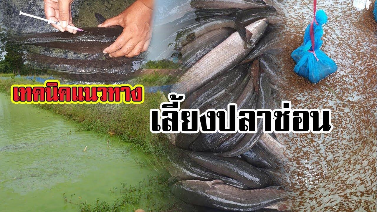 แนวทางการเลี้ยงปลาช่อน และ การผสมเทียม