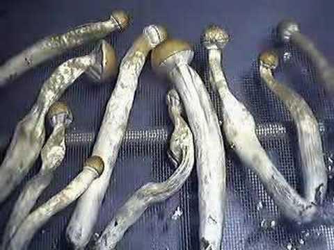 Drying Cubensis mushrooms Time lapse #1