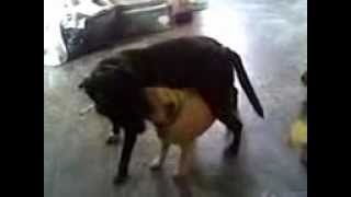 My Pug And Staffy X Having Play Fights