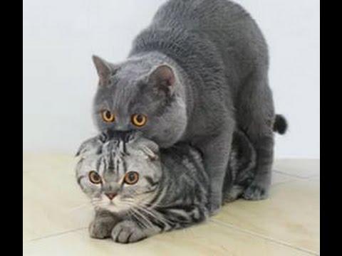 Как ведут себя кошки после вязки