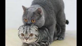Кошка орет после вязки, почему?