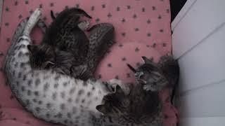 Meulicats Ocicats kittens Yentle 2020 03 08