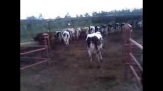 Ferme des bovins laitier a Had soualem