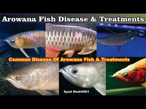 Types Of Arowana Fish Diseases And Treatments Complete Video